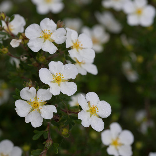 Potentilla f. 'Happy Face White' PW