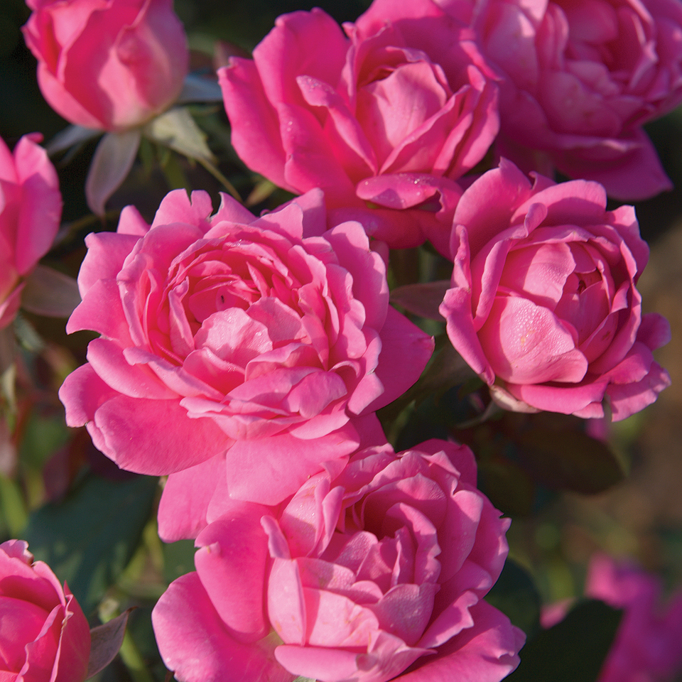 Rosa 'Knock Out Double Pink'