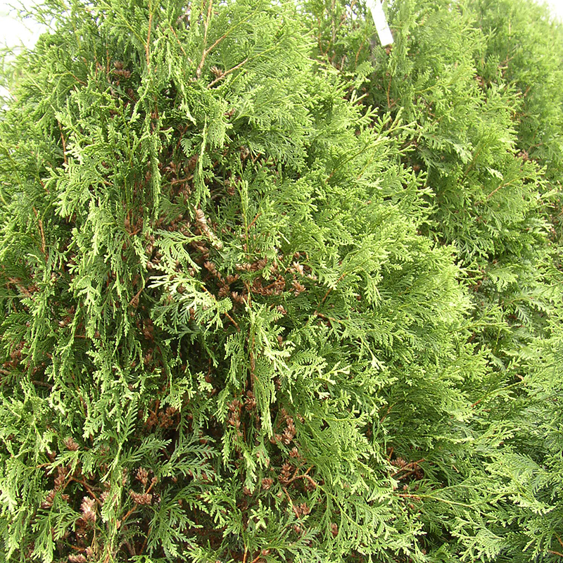 Thuja 'Techney'
