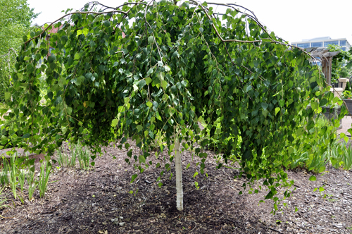 Betula Birch 'Youngi' Tree
