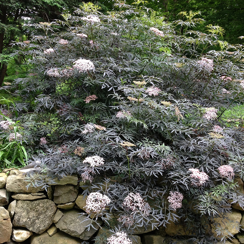 Sambucus 'Black Lace' Tree PW