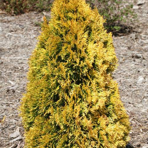 Thuja 'Filips Magic Moments'? PW