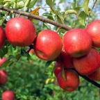 Malus 'Fuji' Tree
