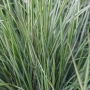 Calamagrostis a. 'Avalanche'