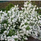 Exochorda 'Snow Day Surprise?' PW