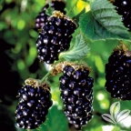 Blackberry 'Arapaho' Thornless