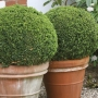 Buxus 'Sprinter' ? PW