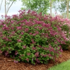 Syringa 'Bloomerang' Dark Purple PW