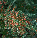 Cotoneaster 'Rock Spray'
