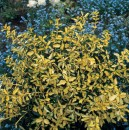 Euonymus f. 'Blondy' PW