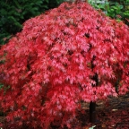 Acer pal dis 'Ever Red'