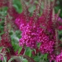 Buddleia 'CranRazz'