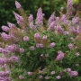Buddleia 'Flutterby Pink'