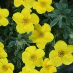 Potentilla f. 'Happy Face Yellow' PW