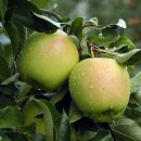 Malus 'Yellow Delicious' Dwarf Tree