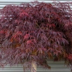 Acer pal. Dis 'Crimson Queen'