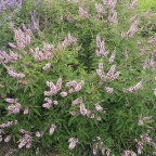 Vitex 'Pink Pinnacle