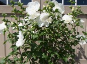 Hibiscus s. 'Chiffon White?' Tree PW