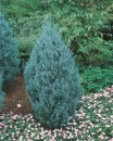 Juniper 'Wichita Blue'