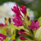 Weigela 'Ghost?' PW