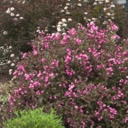 Weigela 'Fine Wine?' PW