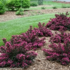 Weigela 'Spilled Wine?' PW