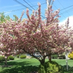Prunus s. 'Kwanzan' cherry Tree