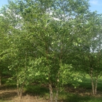 Betula 'River' Birch CLUMP