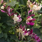 Lonicera 'Peaches and Cream'