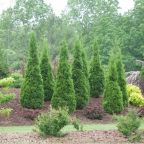 Thuja 'North Pole?' PW