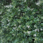 Ligustrum 'California' Green Privet