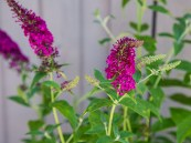 Buddleia 'Miss Molly' PW