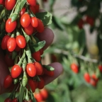 Lycium 'Big Lifeberry' Goji Berry PW