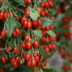 Lycium 'Sweet Lifeberry Goji Berry' PW