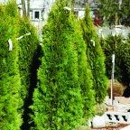 Thuja o. 'Emerald Green '