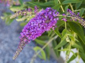Buddleia Lo & Behold 'Purple Haze' PW