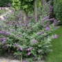 Buddleia Lo & Behold 'Blue Chip' PW