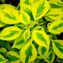 Cornus 'Golden Shadow'