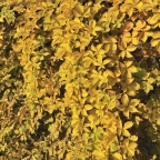 Parthenocissus q. 'Yellow Wall' ? PW