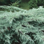Juniper 'Grey Owl'