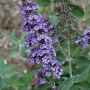 Buddleia 'True Blue'