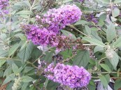 Buddleia Lo & Behold 'Blue Chip Jr.' PW