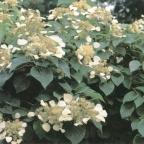 Schizophragma hydra 'Moonlight' ?