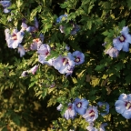 Hibiscus 'Azurri Satin?' Tree PW