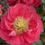 Chaenomeles Double Take? 'Pink Storm' PW