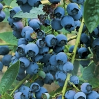 Blueberry 'Blue Ray'
