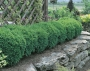 Buxus 'Winter Gem