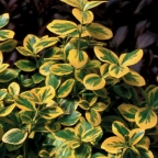 Euonymus f. 'Gold Splash' PW