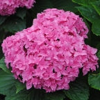 Hydrangea m. Double Delights 'Perfection'