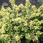 Ilex c. 'Drops of Gold'